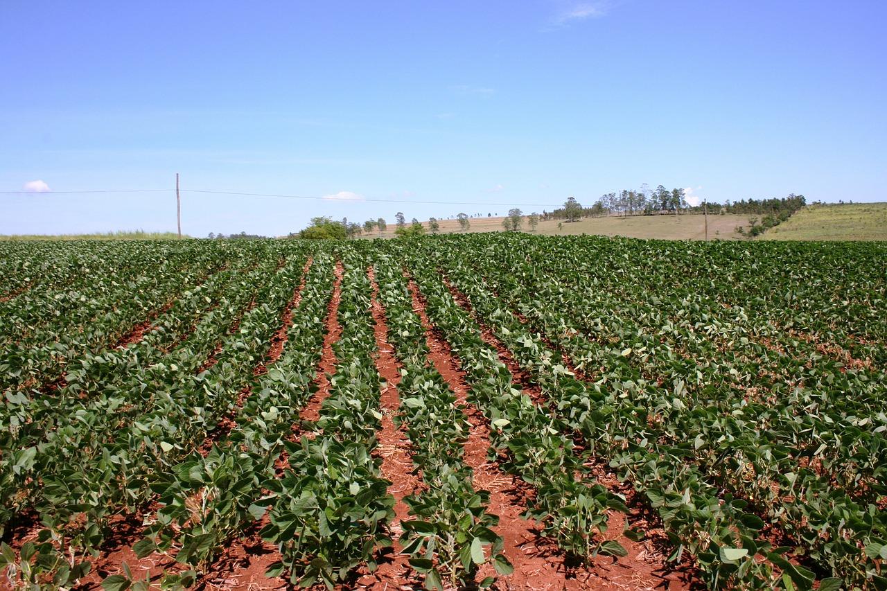 Plantación de frijol