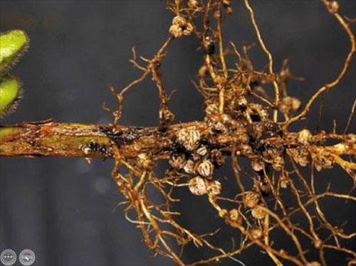 Nodulos en la raíz de leguminosas. Por inoculantespalaversich. com