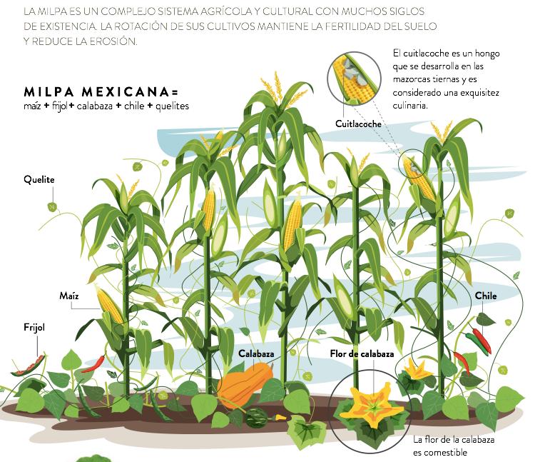 Sistema de la milpa (maíz, frijol y calabaza)