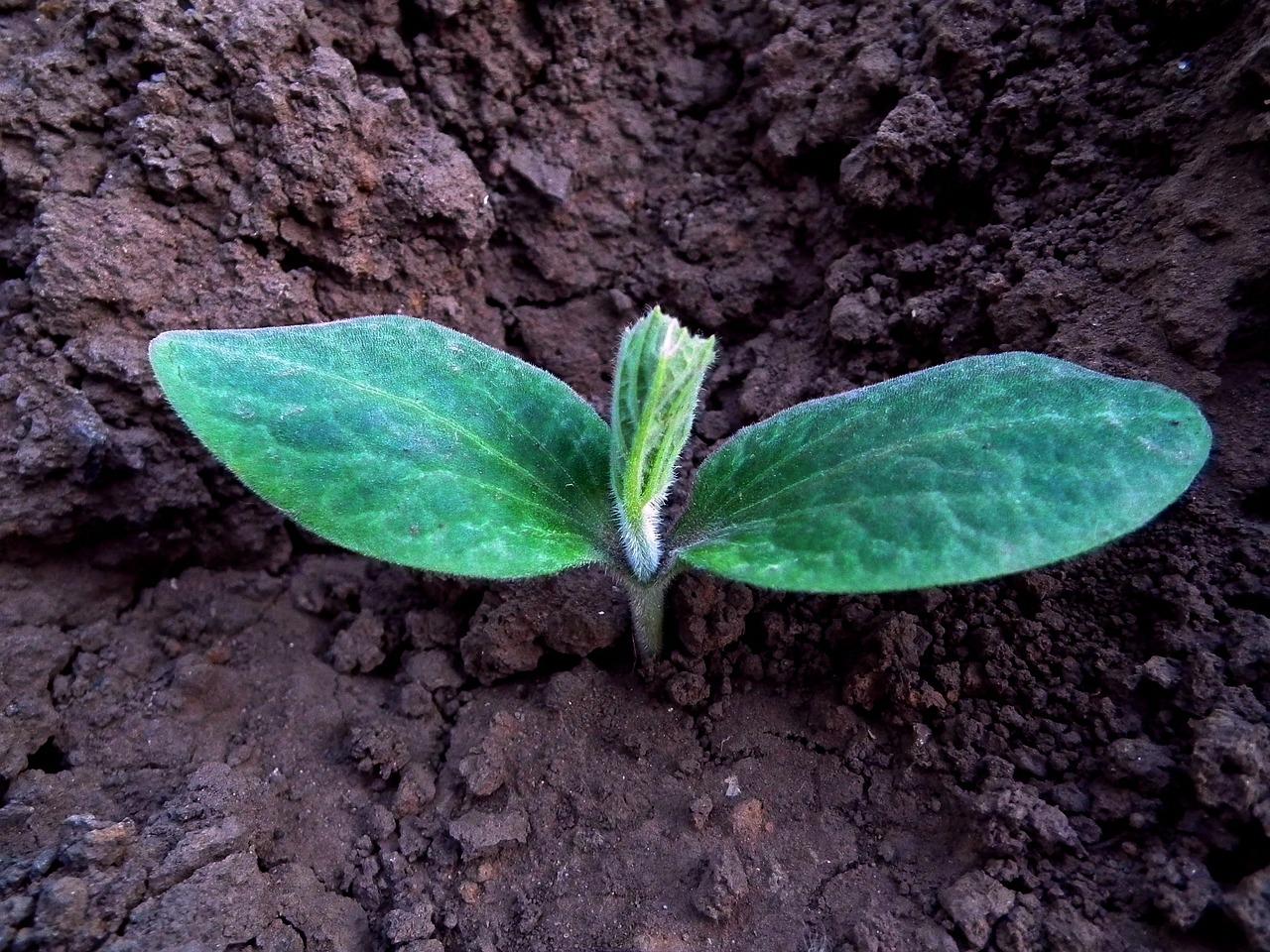 Plantula de calabaza