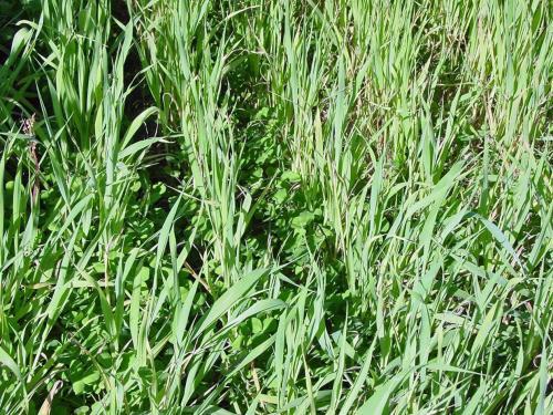 Coberura vegetal de a avena y chícharo. Por Corey Cherr, Universidad de Florida