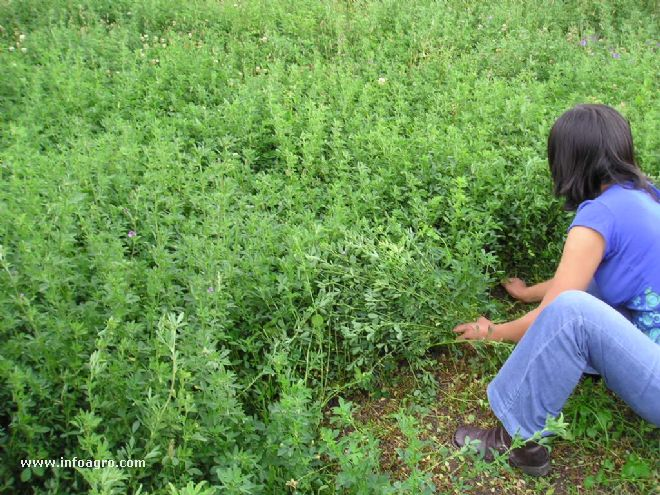 Cosecha de alfalfa. Por Infoagro