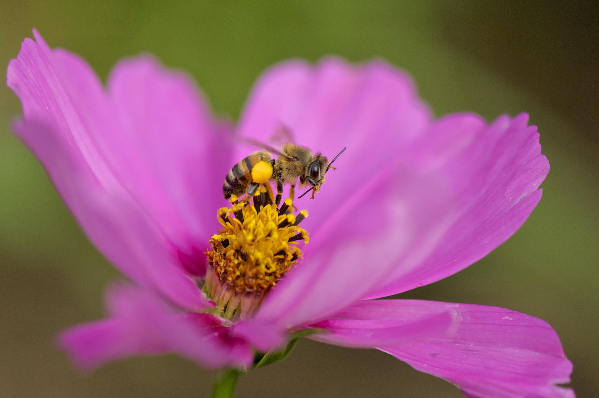 polinizadores abeja