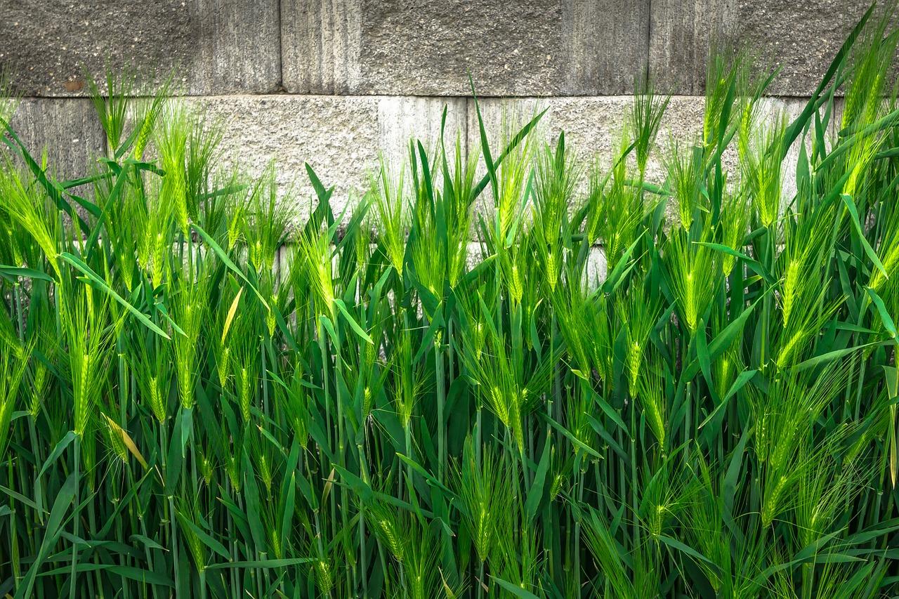 Cebada como cobertura vegetal