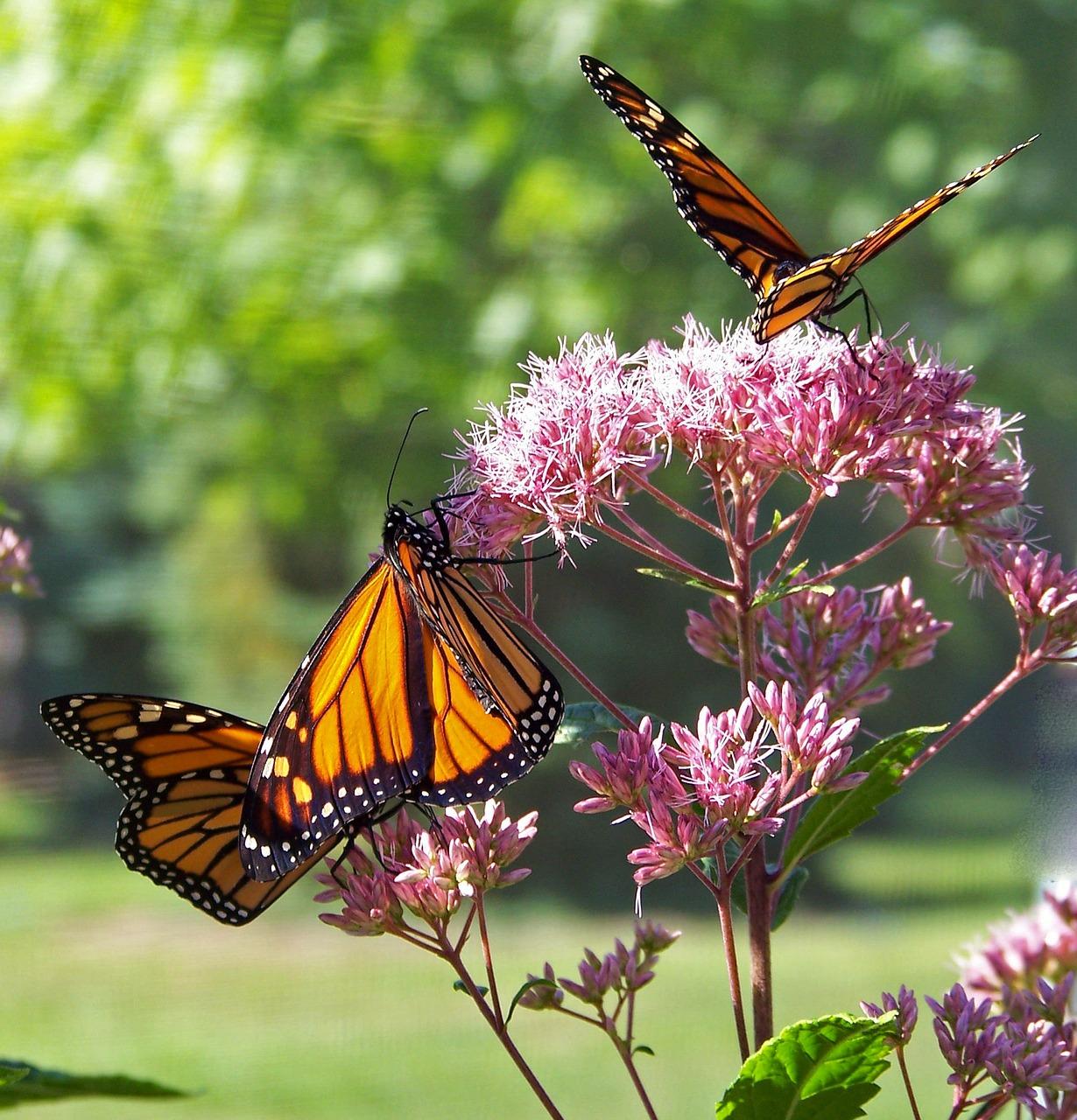 Mariposas polinizando flores