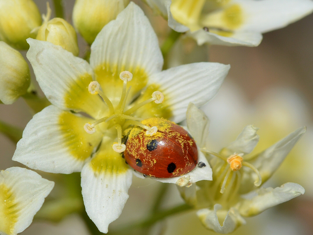 Catarina polinizando flores, recolección de polen