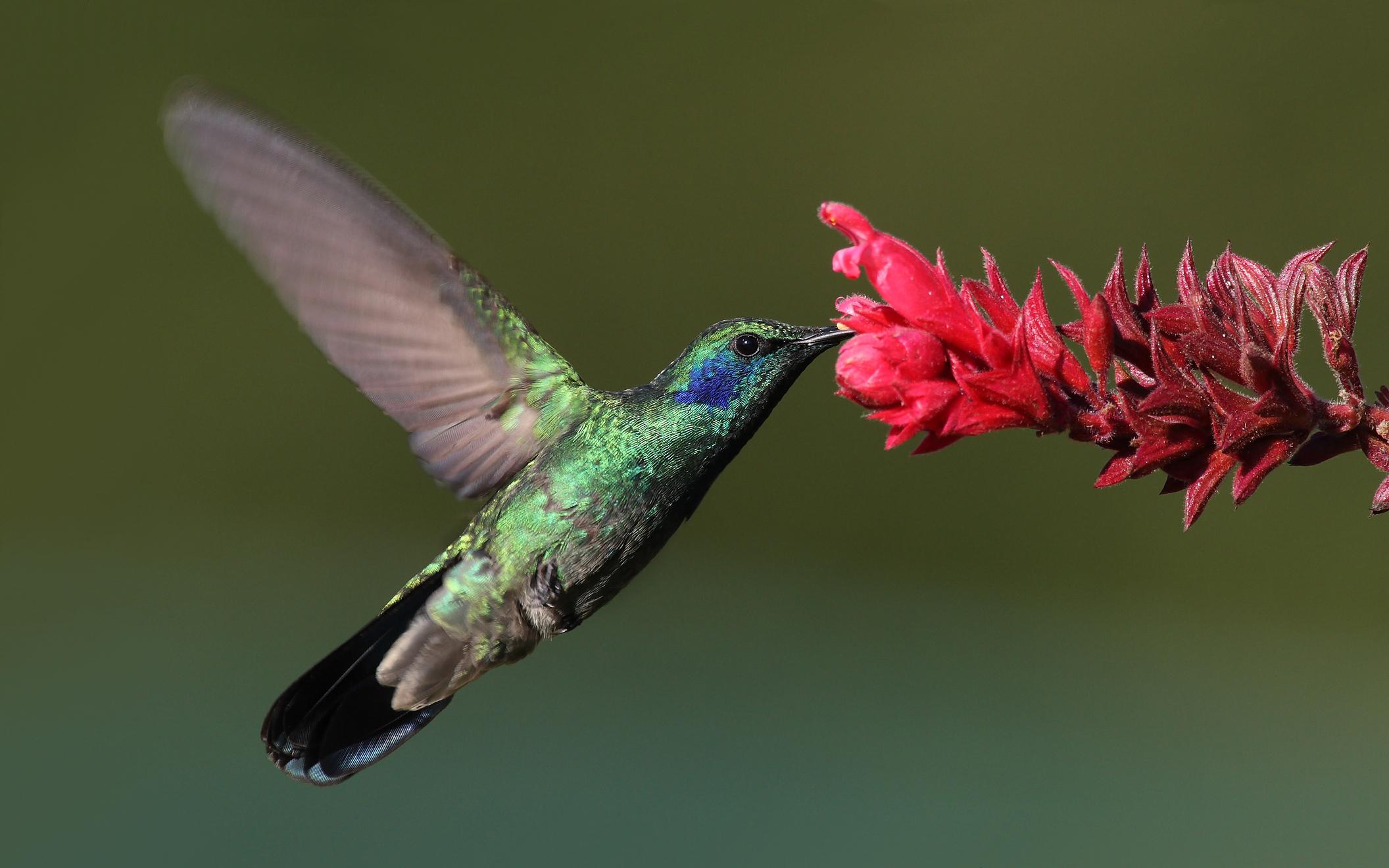 Colibrí alimentandose de flores y polinizando.