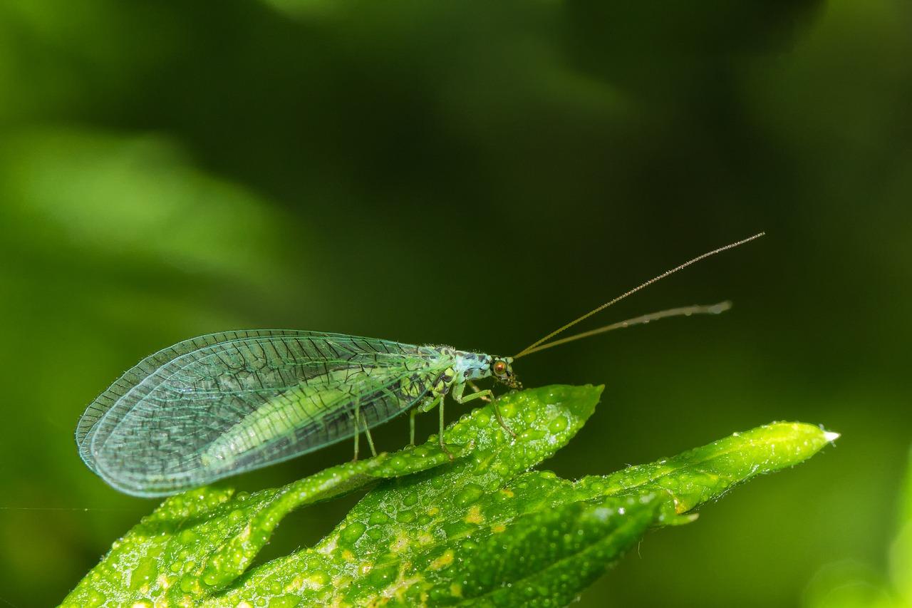 Adulto de crisopa, perfecto depredador de plagas en nuestro huerto