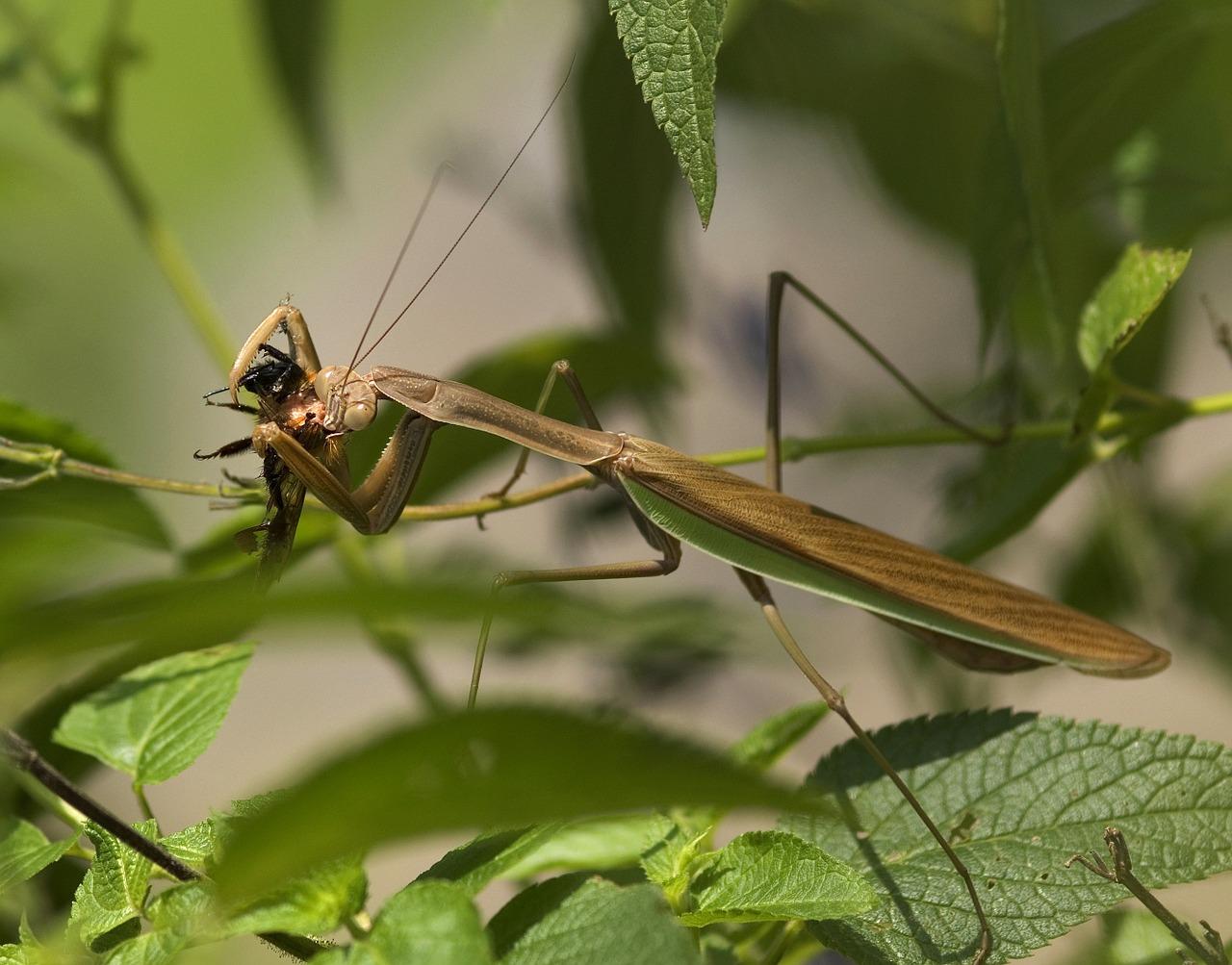 Mantis religiosa devorando una plaga del huerto