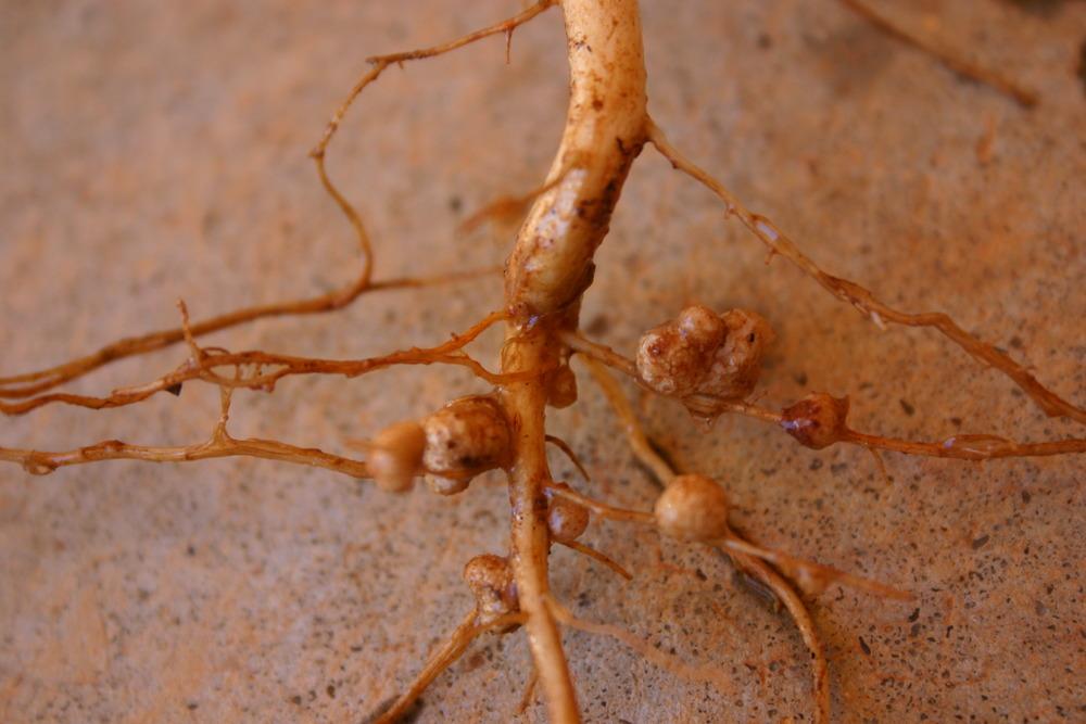 Rizobio en la raíz de una leguminosa