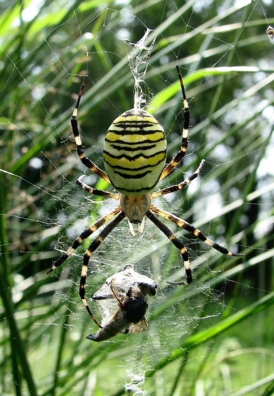 Araña envolviendo a su presa.
