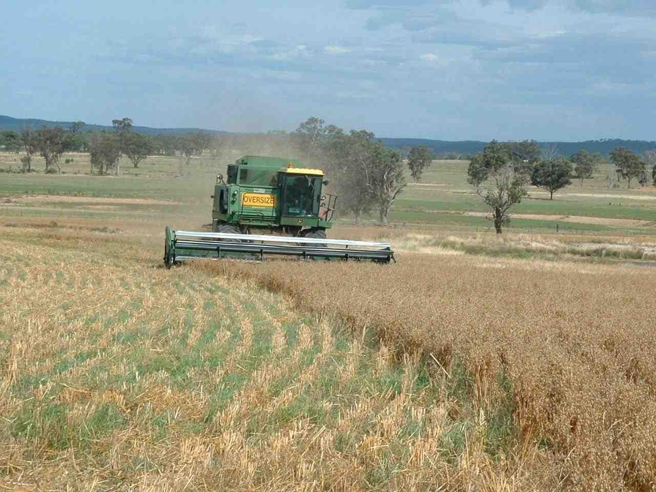 Cosecha de avena utilizando cultivo en pasto. Con esta técnica evitamos utilizar químicos y fertilizantes, así beneficiamos el suelo. Por Winona Farms.