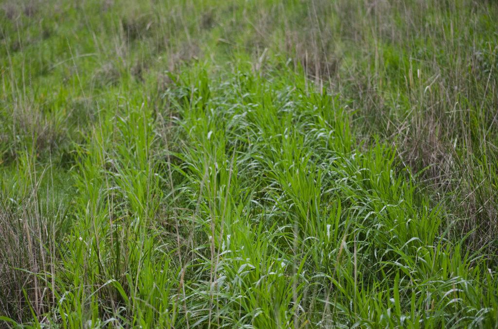 Cultivo en Pasto. Los pastos nativos o silvestres se adaptan mejor a la zona y ayudan al crecimiento de los cereales. Por. Holy Goat Cheese