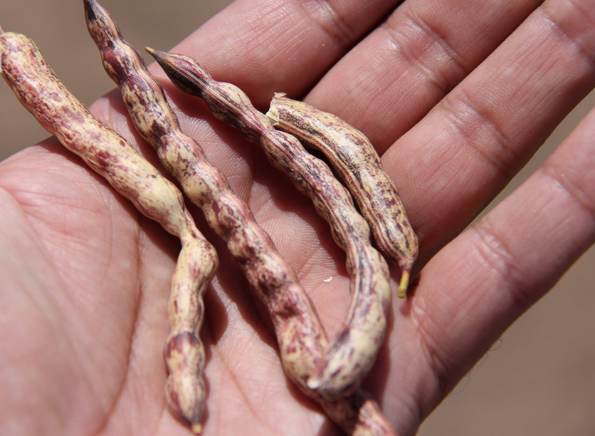 vainas-mezquite