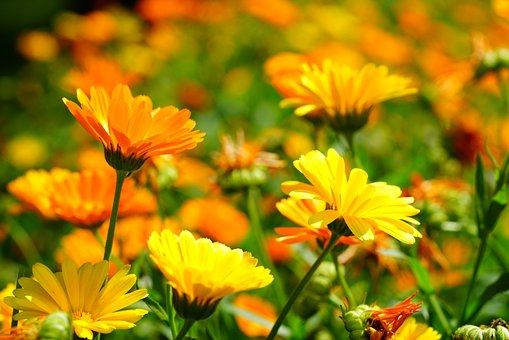 Flor de caléndula - Foto: ACO